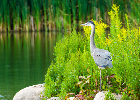 ardeidae: The great blue heron (Ardea herodias) is a large wading bird in the heron family Ardeidae, common near the shores of open water and in wetlands over most of North America and Central America