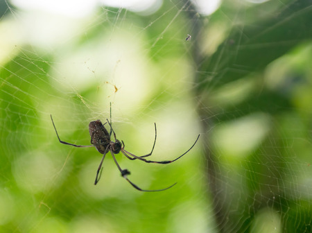 harmless: Common countryside spider in Cuba, harmless insect in its spiderweb