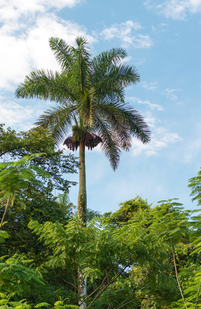 The Royal Palm Tree is the Cuban National Tree a symbol of the Caribbean country.  photo