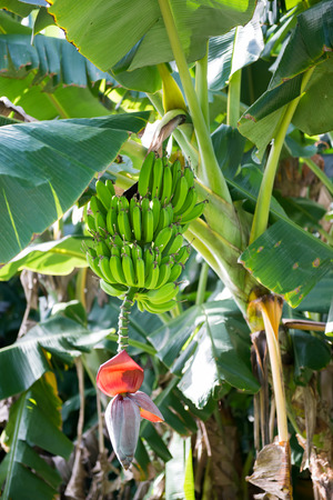 Banana bunch growing in a plantain tree plantation photo