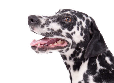 spotty: Beautiful female purebreed dalmatian dog or pet over white background Stock Photo