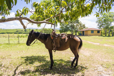 Horse with saddle tied to a mango tree in a Cuban farm photo
