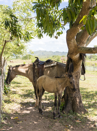 Female horse and colt under a mango tree in the Cuban countryside photo