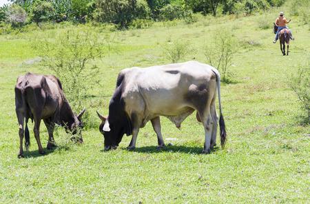 stock breeding: Free grazing cattle in a Cuban farm