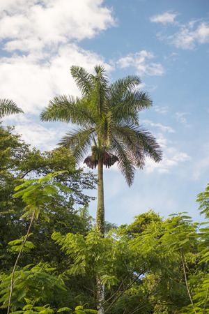 coutryside: Royal palm tree in the Cuban coutryside, the palm is the island National Tree