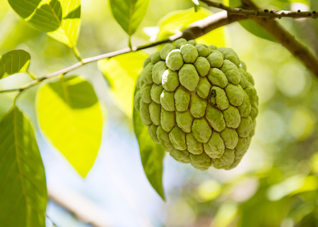 anon: Sugar apple or Anon hanging on tree in a tropical country during summer Stock Photo