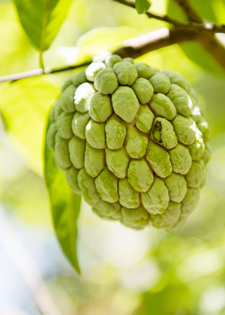 anon: Sugar apple or Anon hanging on a tree on a tropical country Stock Photo