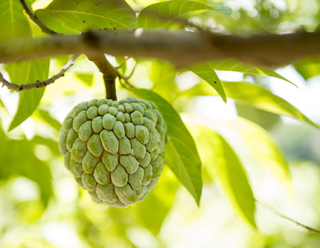 anon: Sugar apple or anon hanging on a tree in a tropical country