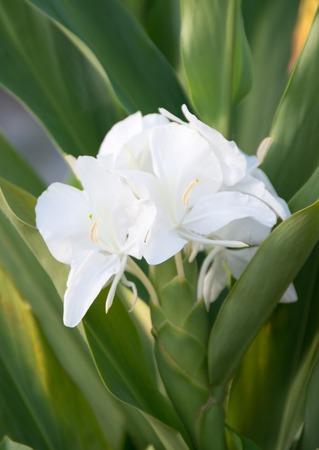 coronarium: Cubas National Flower is the White Ginger or Hedychium coronarium also known in Spanish as Mariposa.