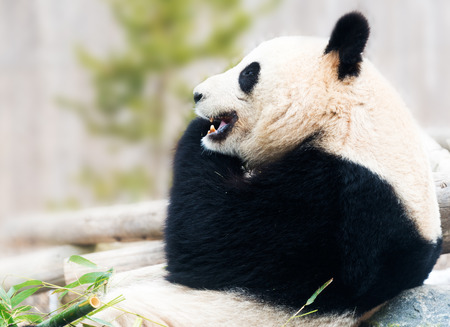 endanger: Big Panda bear resting on rock and eating bamboo during daytime Stock Photo