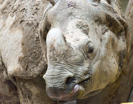 extinction: Rhinoc�ros indien ou Java est inscrite comme en danger critique d'extinction, cet animal rare a une seule corne qui marque la diff�rence principale avec le type africain.