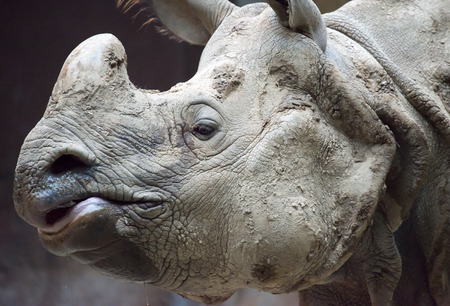 rare animal: Indian or Java rhinoceros is listed as critically endangered of extinction, this rare animal has only one horn which marks the main difference with the African type.