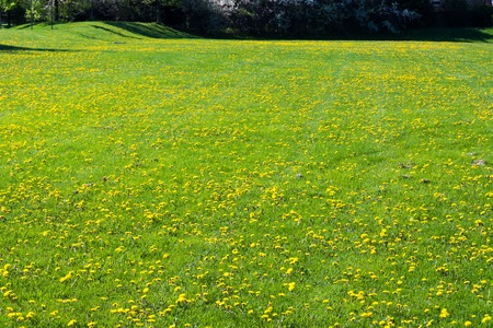 soothing: A soothing, luscious open field of bright, green grass filled with beautiful yellow wildflowers or dandelions in a park with small hills that leads into a forest of tall trees. The yellow flowers are like a field of gold in nature.