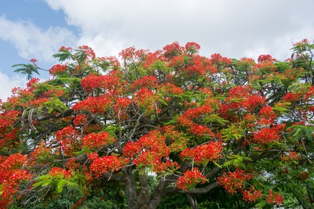 flamboyant: Flamboyant red flowers all over a large tree in the backdrop of a cloudy sky. Stock Photo