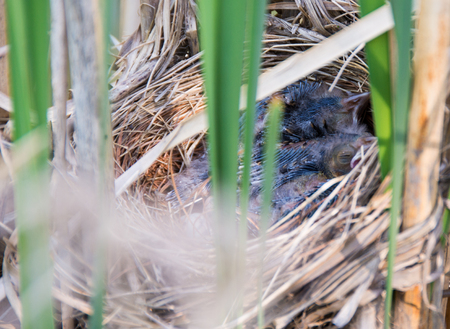 birdnest: Close-up of a birds nest on a tree. Three newborn birds sleeping in a nest seen through obstacles of blurred long green leaves in the foreground. Stock Photo