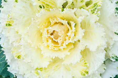crinkled: Close up of a Yellow Peony variety flower with  multiple layers of textured petals, crinkled at the edges.
