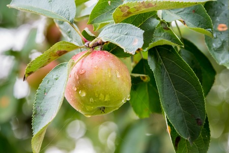 blushing: Toronto Apples: Blushing red apple with rain drops hanging on a branch in an Orchard in Toronto, Canada.  Fruit growing is an important part of Canada�s food industry and Apple is Canadas most important and  major tree fruit crop.