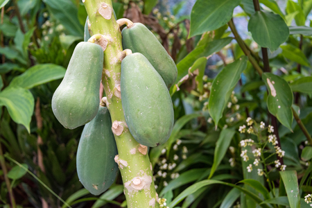 the green papaya: Green papaya fruits hanging from tree in Cuba. Papaya is one of the tropical fruits grown widely in Cuba throughout the year. Stock Photo
