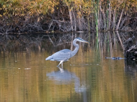 ardeidae: Great Blue Heron (Ardea herodeus) in Toronto park. The great blue heron is a large wading bird in the heron family Ardeidae, common near the shores of open water and in wetlands.