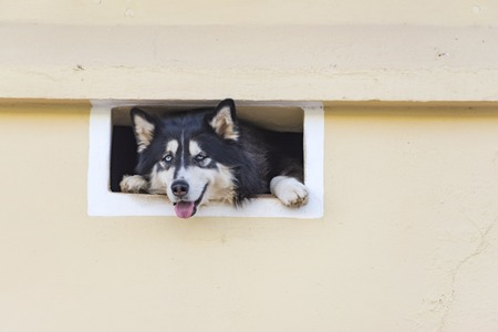 tight: Cute German shepherd dog looking at the street from a tight window in Trinidad,Cuba Editorial