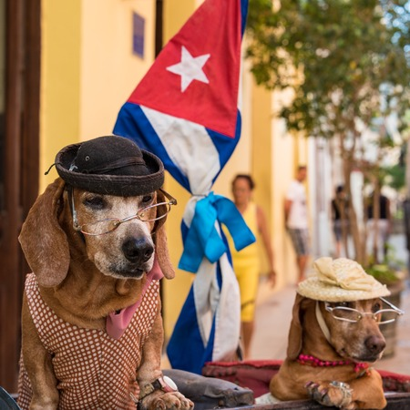 dressed up: Cachito and Canela are dressed up dogs for tourist enjoyment in Old Havana. With a Cuban flag in the background ,these Cuban animals are trained to stay quiet for long periods of time. Tourist are required to pay one dollar for having their picture taken Editorial