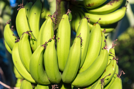 basic food: Green banana bunch hanging on tree details.  Green bananas are the basic food of the people of Cuba Stock Photo
