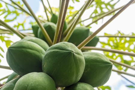 Lower view of papaya tree full of green fruit. Papaya fruit is very popular and easy to grow in private backyards. Stock Photo