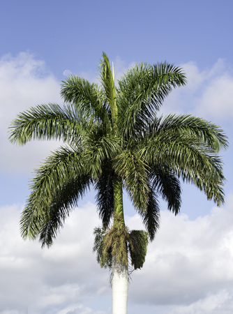 cuban culture: Royal Palm tree is a National Symbol in Cuban culture. The tree is present in the countrys whole landscape and symbolizes the undeniable character of the Cuban people, as it endures the most furious gales on foot, without falling.