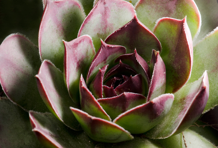 subtropical plants: Close up of variety of Aeonium. Aeonium is a genus of about 35 species of succulent, subtropical plants of the family Crassulaceae. The name comes from the ancient Greek