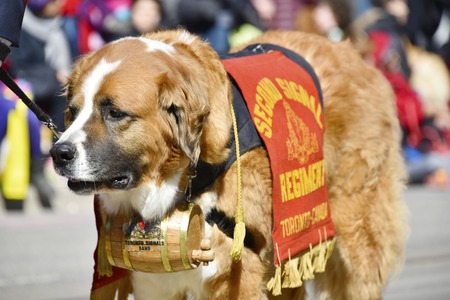 notorious: Beautiful dog representing the Second Signal Regiment in the Lions Club Easter parade which celebrates its 50th anniversary Editorial