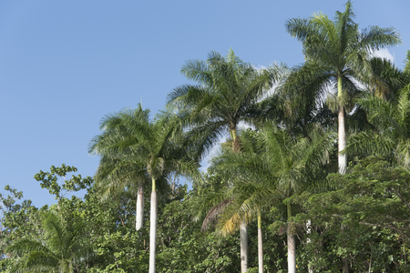 Royal palm trees, Cuban National tree, in the beautiful blue and green countryside. Exuberant vegetation flora in a natural reserve area in the Caribbean country with tropical weather. Imagens
