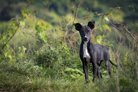 キューバの田園地帯の美しい雑種犬。彼らは田舎の農家住宅のセキュリティで使用されます。 雑種犬、雑種犬や mutt は 1 つの確認された品種に属し