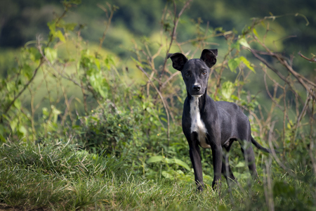 Beautiful mutt dog in the Cuban countryside. They are used for security in farmer houses in the countryside. A mongrel, mixed-breed dog or mutt, is a dog that does not belong to one recognized breed and is not the result of intentional breeding Stock Photo
