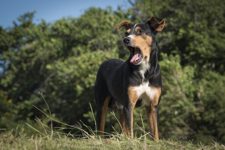 intentional: Beautiful mutt dog in the Cuban countryside. They are used for security in farmer houses in the countryside. A mongrel, mixed-breed dog or mutt, is a dog that does not belong to one recognized breed and is not the result of intentional breeding Stock Photo