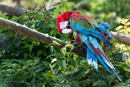 The macaw, or New World parrot with vibrant red, green and blue colours on its feathers. The  Neotropical parrot bird is amid a green vegetation.