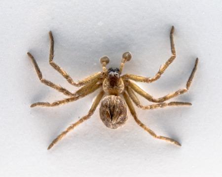 Taxidermied Huntsman Spider or Heteropoda Venatoria. The piece is part of the exhibit Spiders in the Royal Ontario Museum