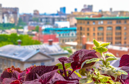 Decorative plants with Old Montreal as background. Highlighted maroon and green leaves of two plants in a balcony with blurred buildings behind.