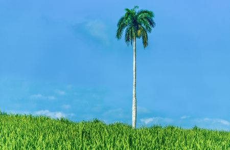 Tall Palm tree in a sugarcane field with cloudy blue sky in the background.  Roystonea regia also known as the Cuban royal palm is the national tree of Cuba and also has religious significance.