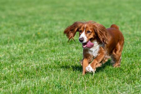 Cute adorable cocker spaniel dog pet with brown fur playing on a city park. It is the springtime so the grass has a vibrant green color.