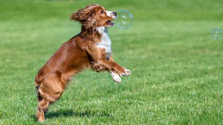 Cocker Spaniel dog bursts a soap bubble in mid air. The animal is playing on a green grass field located on a city park