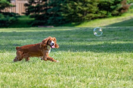 Adorable cocker spaniel dog pet playing with soap bubbles on a public park during the springtime season. It is daytime and the grass is in a vibrant green colors Stock Photo