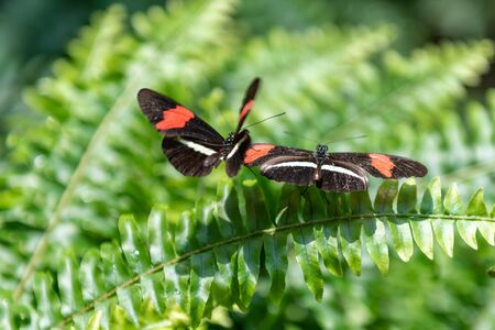 Orange, white, and black butterflies seen in the Butterfly Conservatory in Niagara Falls. The two animals are perching on a vibrant green color fern. Stock Photo