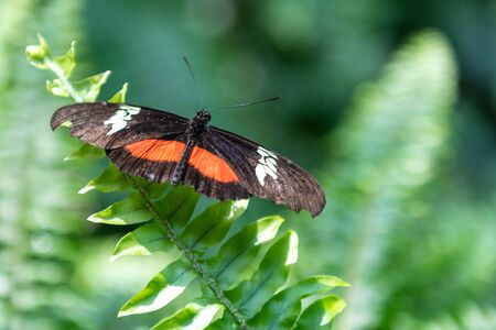 Orange, white, and black butterfly seen in the Butterfly Conservatory in Niagara Falls. The animal is perching on a vibrant green color fern. Stock Photo