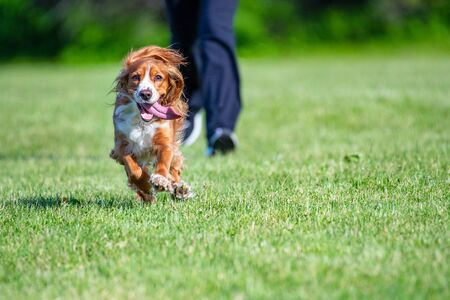 Adorable cocker spaniel dog running ahead of its owner on a green grass field during the daytime Stock Photo