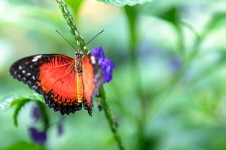 Beautiful orange, white, and black butterfly perched on a purple flower. The image is taken in the Butterfly Conservatory outside the Niagara Falls city Stock Photo
