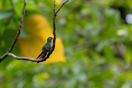 Cuban emerald hummingbird, also zun zun. the bird is a species of hummingbird in the family Trochilidae. It is endemic of the Caribbean island and it is considered one of the smallest birds of the world Banco de Imagens