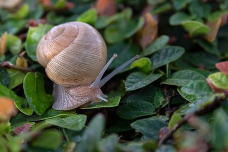 Close up of a garden snail gliding over a vine plant. Both are wet due to the morning dew. Beauty in nature. Stock Photo