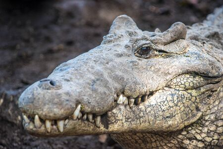 Close up details of the endangered Cuban crocodile. Images taken in the Zapata Swamp. The reptile animal is endemic of the island and very aggressive. Banco de Imagens