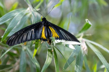 Beautiful large butterfly with black, white, and yellow wings. The animal is perched on a plant located in the  Niagara Falls Butterfly Conservatory is a famous place and a tourist attraction in the province of Ontario