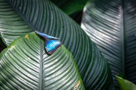 The two Blue Morpho Butterflies in a garden at The Niagara Falls Butterfly Conservatory is a famous place and a tourist attraction in the province of Ontario